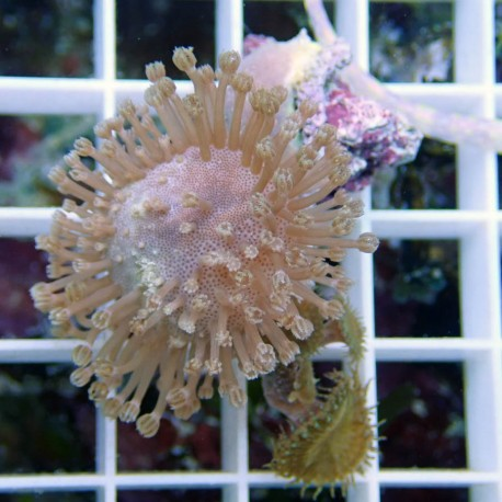 Sarcophyton small sarco113