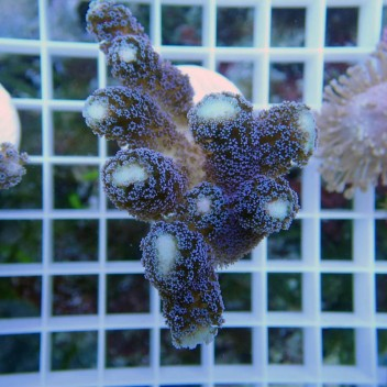Stylophora milka stylo282