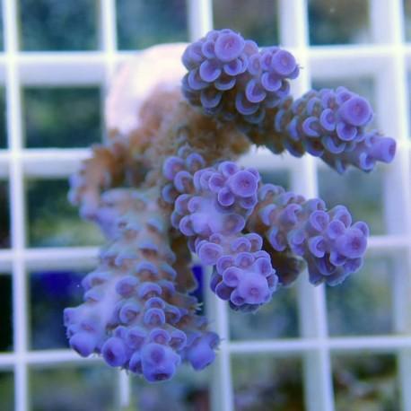 Acropora tenuis bleu acro8711
