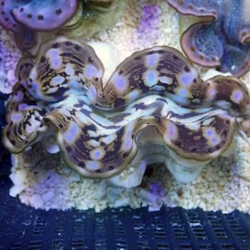 Tridacna squamosina 8/10cm tridac148 Elevage de mer rouge