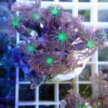 clavularia tricolor clavu24