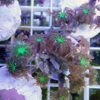 clavularia tricolor clavu32