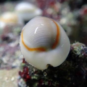 Porcelaine Cyprea annulus