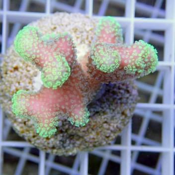 Stylophora milka stylo286