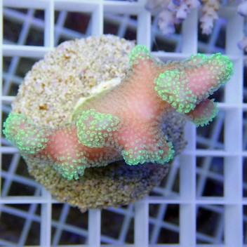 Stylophora bicolor rose vert stylo287