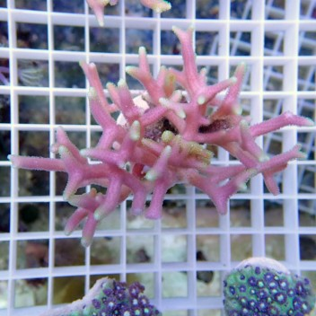 Seriatopora hystrix australie Sh230