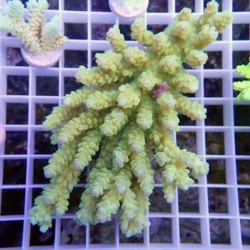 Acropora sp ultra jaune pointe mauve acro8787