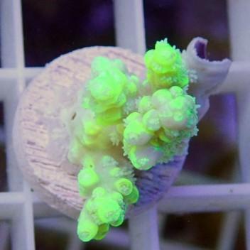 Acropora aculeus jaune fluo acro8791