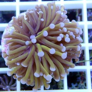 Euphyllia glabrescens golden torch Australie euphy520