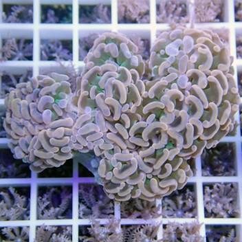 Euphyllia ancora orangé euphy538