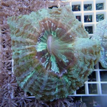 Acanthophyllia deshayesiana L acantho29