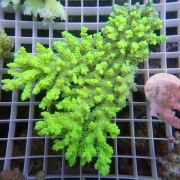 "Acropora sp ""humilis"" jaune fluo acro8795"
