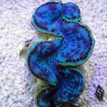 Tridacna squamosina 5/6cm tridac151 Elevage de mer rouge