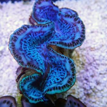 Tridacna squamosina 5/6cm tridac146 Elevage de mer rouge
