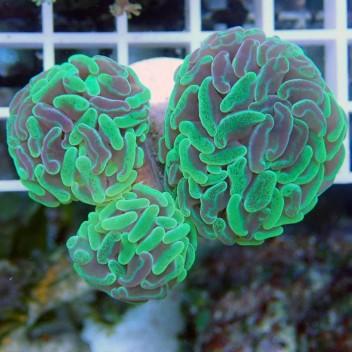 Euphyllia parancora bicolor ultra euphy534