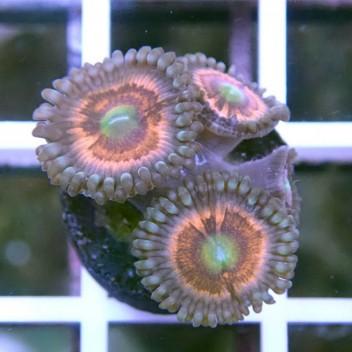 Zoanthus Bad santa Z852