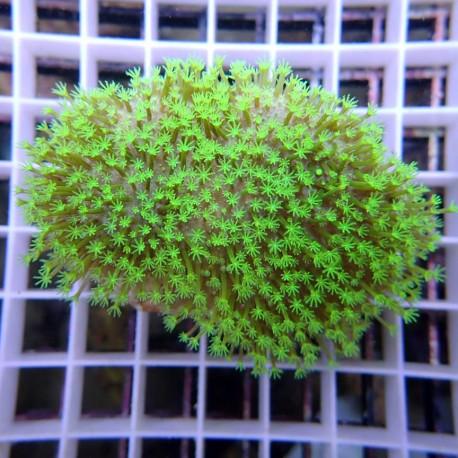 sarcophyton polype vert sarco123