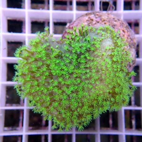 sarcophyton polype vert sarco125