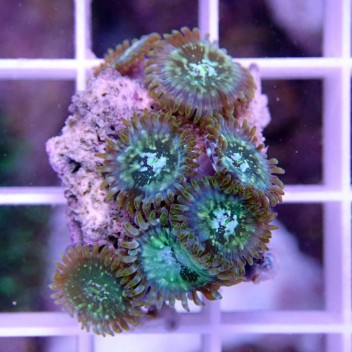 Zoanthus blueberry pie Z904
