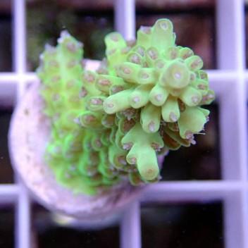 Acropora microclados verte acro8941