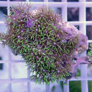 Pachyclavularia vert pachy55
