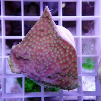 Montipora mauve polype jaune monti612