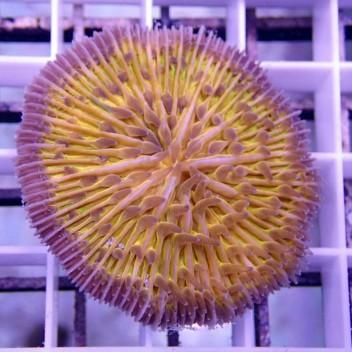 Fungia sp Fungia70