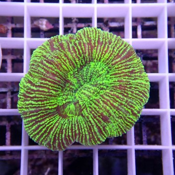 Trachyphyllia vert trachy85