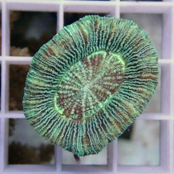 Trachyphyllia vert trachy87