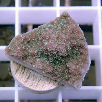 Montipora mauve polype bleue monti616