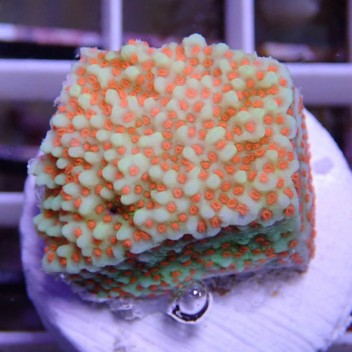 Montipora sp superman monti601