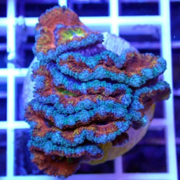 Acanthastrea lordhowensis rainbow AL998