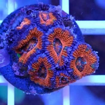 Acanthastrea lordhowensis AL1016
