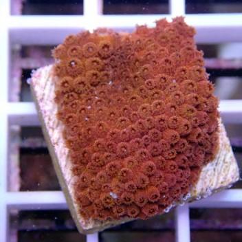 Cyphastrea australie cypha2