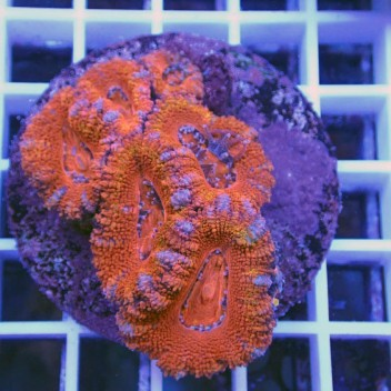 Acanthastrea lordhowensis AL1032