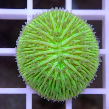 Fungia vert Fungia72