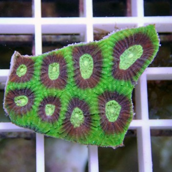 Favia vert ultra favia48