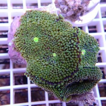 Ricordea floridae gros polype RF221