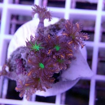 clavularia tricolor clavu33