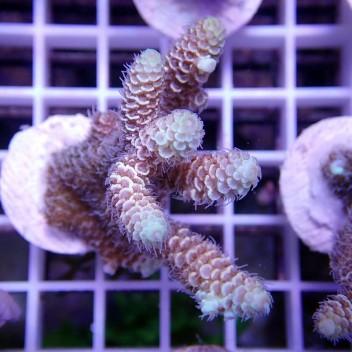 Acropora millepora acro9007