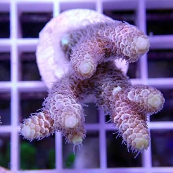Acropora millepora acro9008