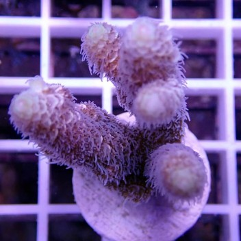 Acropora millepora acro9010