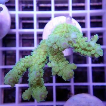 Acropora batunai acro9014