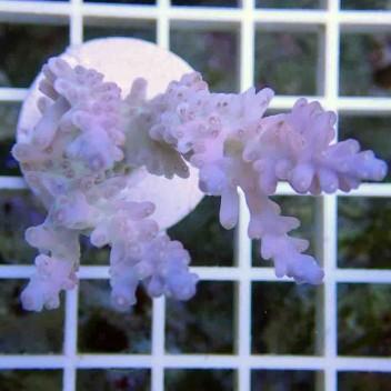 Acropora tenuis bleue acro001