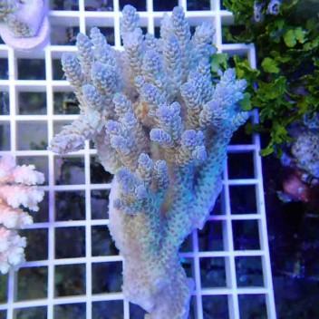 Acropora tenuis acro037