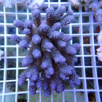 Acropora sp acro047vevaud