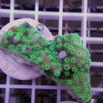 Pavona maldivensis vert
