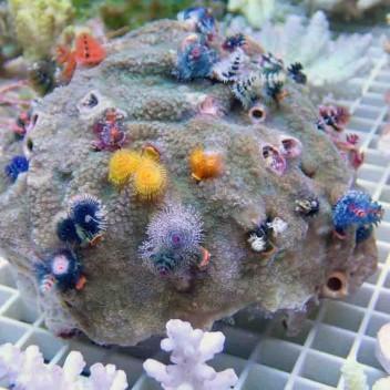 Porites spirograhes multicolor XXL