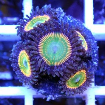 Zoanthus sunnyD Z955