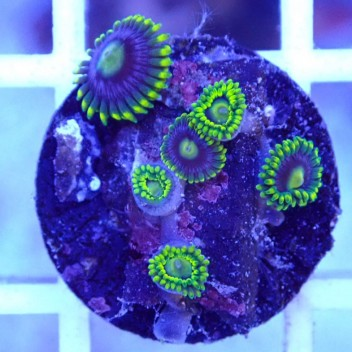 Zoanthus blueberry pie Z979
